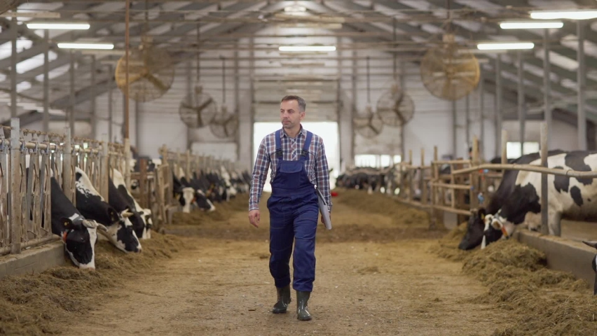 Wide shot of farmer in uniform walking down aisle in cowshed in slow motion, examining stalls with dairy cows eating hay and making notes in report on clipboard
