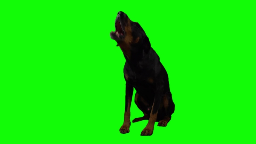 Big black Doberman Pinscher barks sitting full length on a green background. A trained guard dog that guards its territory and gives voice. Pet isolated on a chromakey and ready to replace background. Royalty-Free Stock Footage #1060545520
