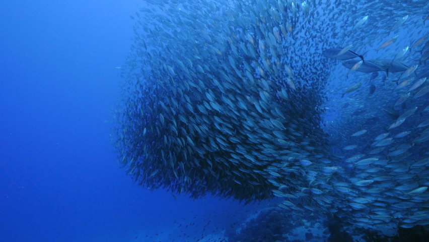 Blue Runner in bait ball / school of fish in turquoise water of coral reef in Caribbean Sea / Curacao