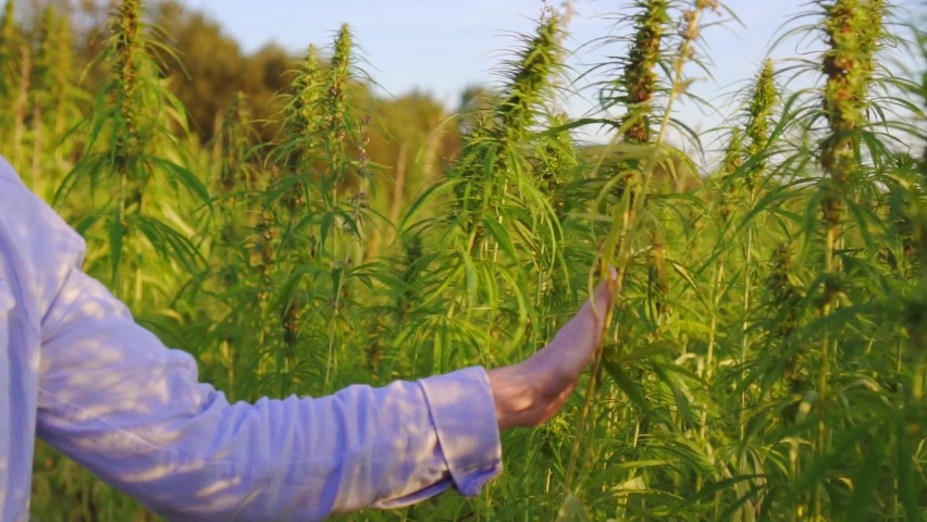 Close up of a scientist's hand touching hemp plant