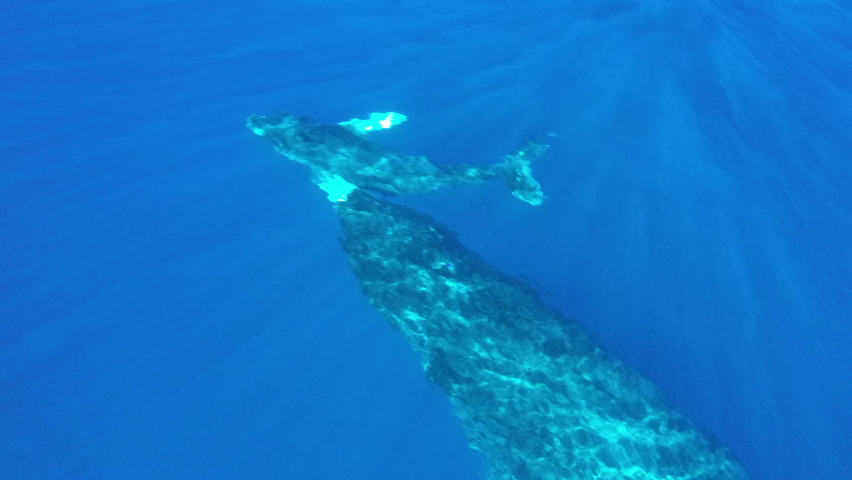 Mother Humpback and Calf Playing off the Coast of Maui
