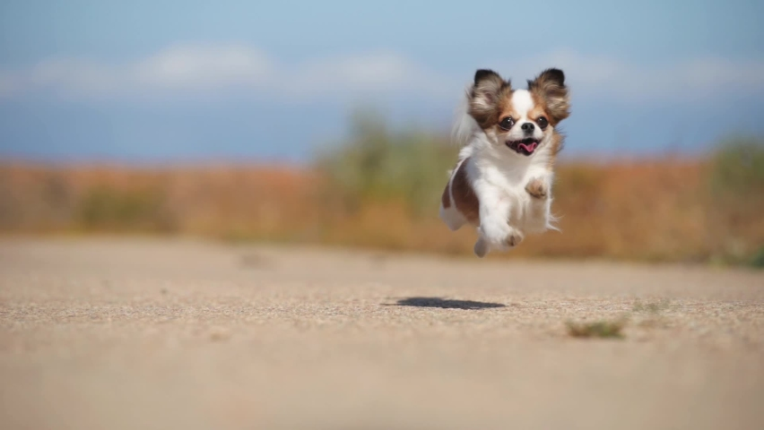 One funny active small healthy chihuahua pet dog running on asphalt road during outdoors leisure sport activity   Shutterstock HD Video #1060578400