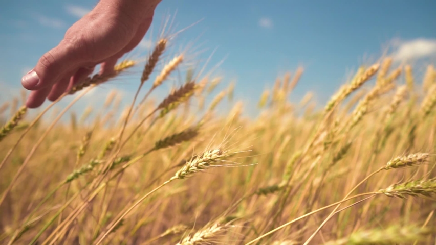 A hand touches the ears of wheat. The Man Gently and Gently Runs His Hand over the Tops of Wheat. Wheat Ears Close-up. The concept of the Unity of Man with Nature. | Shutterstock HD Video #1060594552