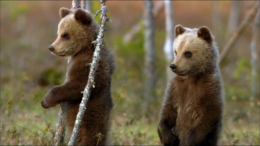 Bear cubs play in the forest near its den. Brown bear, or ordinary bear (Lat. Ursus arctos) is a predatory mammal of the bear family; one of the largest land predators. | Shutterstock HD Video #1060614772