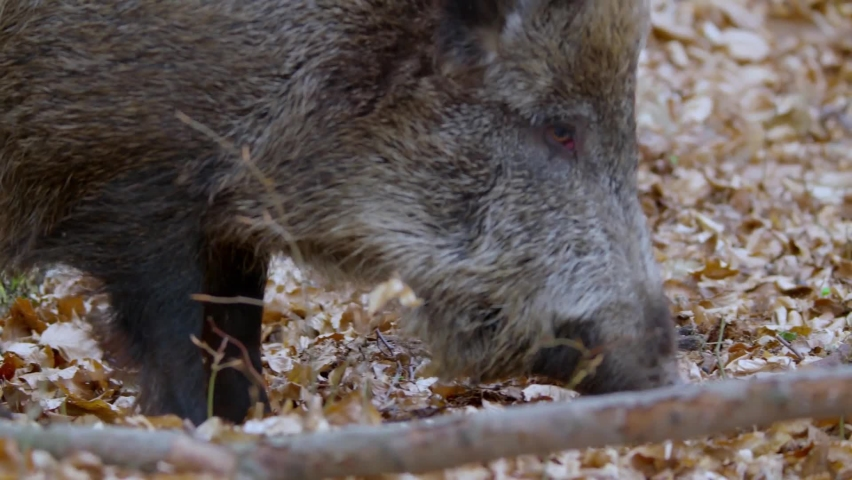 Central European boar or wild pig (Sus scrofa). Is the ancestor of the domestic pig. Wild boar