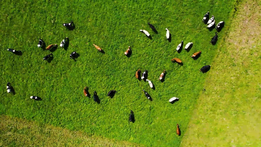Aerial view of Cow feeding on green grass, Drone footage of agricultural land, Green field | Shutterstock HD Video #1060644964