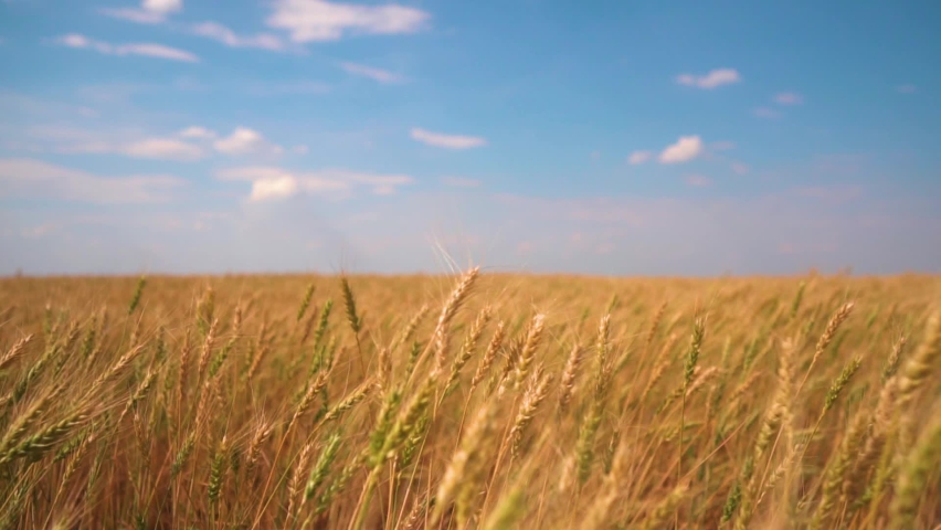 Wheat field, ears of wheat swaying from the gentle wind. Golden ears are slowly swaying in the wind. View of ripening wheat field at summer day. Agriculture industry. | Shutterstock HD Video #1060660279