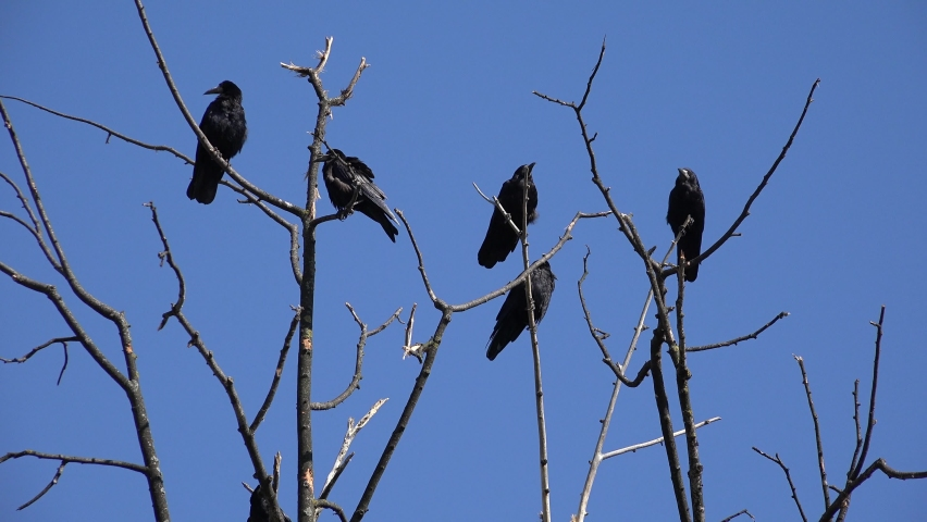 Crows on Branch, Flying Flock, Crowd of Raven in Tree, Black Bird, Birds Close up in Summer Nature, Natural Environment