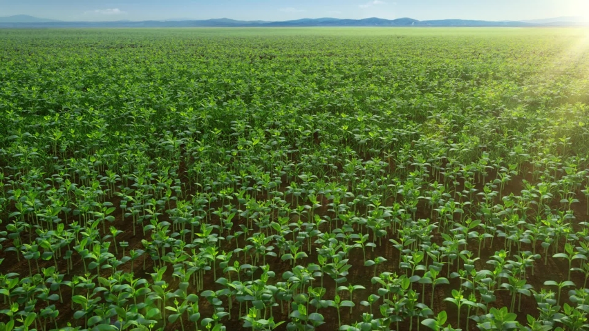 Beans' seeds sprouting and growing, natural organic green vegetables, time-lapse Royalty-Free Stock Footage #1060697566