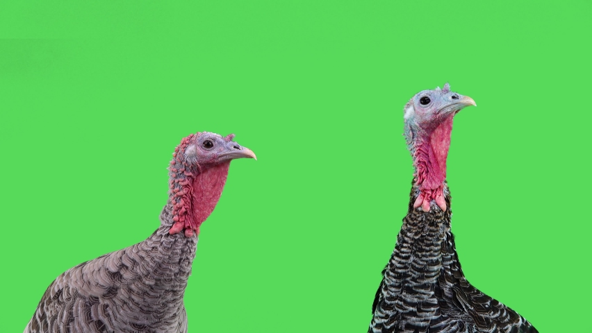 Gray turkey and a black  female turkey look in different directions on Thanksgiving.