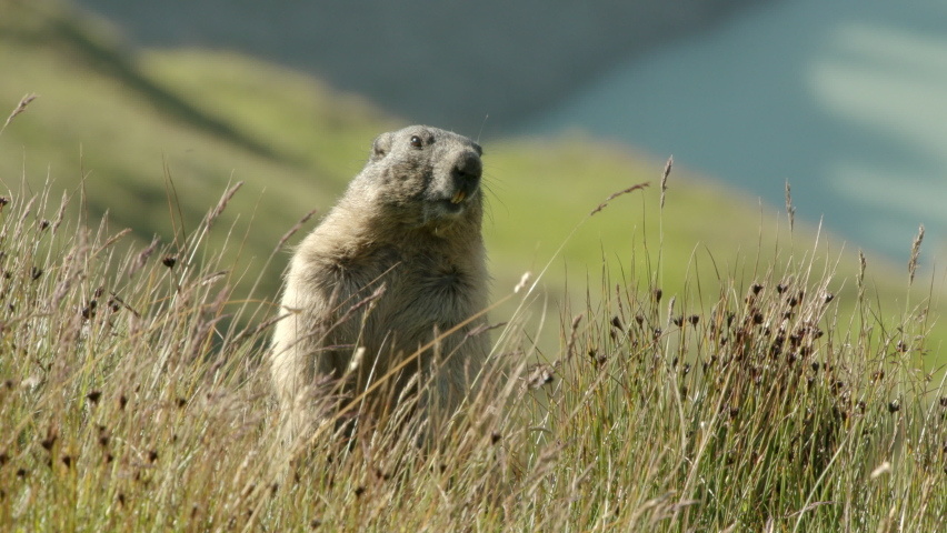 Alpine marmot standing on two legs looking around, Europe