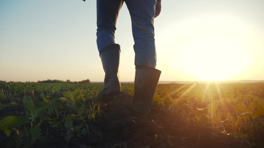 agriculture. man farmer in rubber boots walks country road near a green field of wheat grass. farmer worker goes home after harvesting end of the working day feet in crop rubber boots agriculture Royalty-Free Stock Footage #1060736650