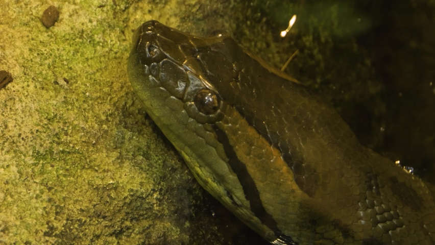 Close up of snake head Anaconda with the tongue coming out.