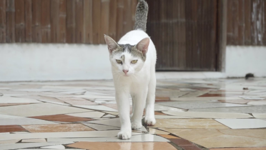 A beautiful white young cat walks. Slow motion. High quality FullHD footage Royalty-Free Stock Footage #1060794469