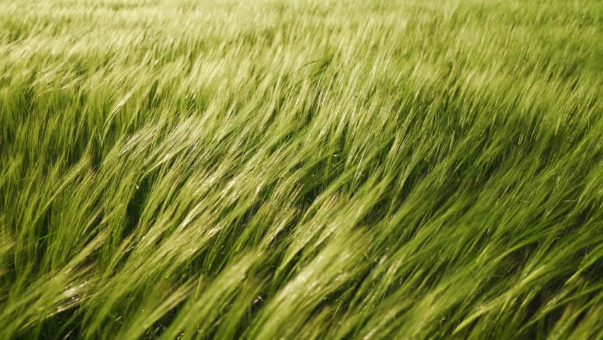 Agriculture. Ripening crops under the warm sun. Wind sways thick barley in a field creating waves. A cereal field for making bread. A large crop of grain. Agricultural business.