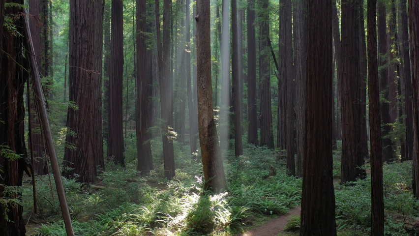 Sunlight shines in a beautiful old-growth Redwood forest in Humboldt, California. Redwood trees, Sequoia sempervirens, are among the tallest and most massive tree species on the planet.