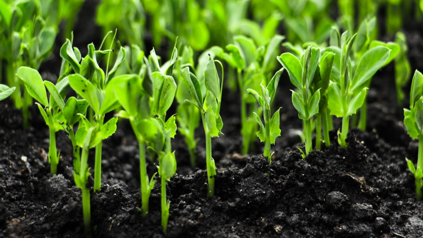 Growing plants in Spring Timelapse, Sprouts Germination newborn Pea plant in Greenhouse Royalty-Free Stock Footage #1060858138