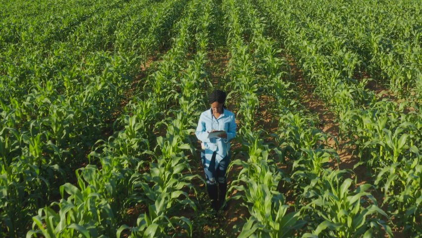 Aerial view of a young black African woman farmer monitoring a corn crop with a digital tablet   Shutterstock HD Video #1060872754