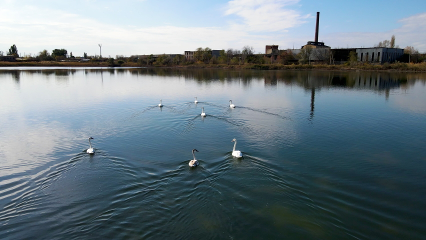 Aerial view.Swans on a clean lake in autumn.
