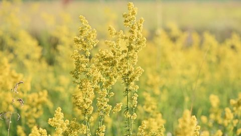 Slow motion of yellow blooming wildflowers Galium verum (lady's bedstraw). Summer meadow flowers natural background.
