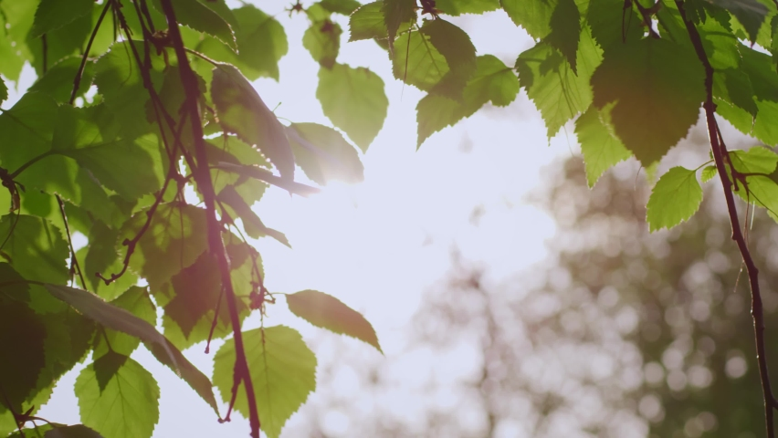 Sun hitting and shining through green tree leaves, close up in slow motion | Shutterstock HD Video #1060988833