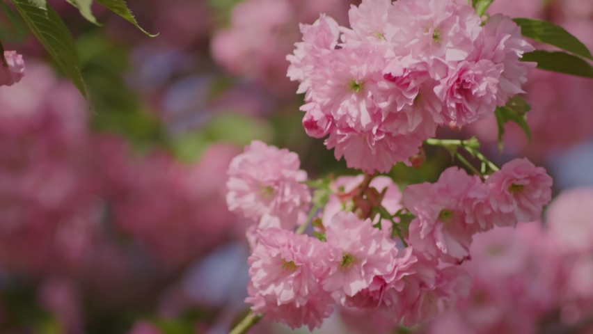 Blooming sakura flower branch in a green garden with a camera moving around in slow motion | Shutterstock HD Video #1060991023