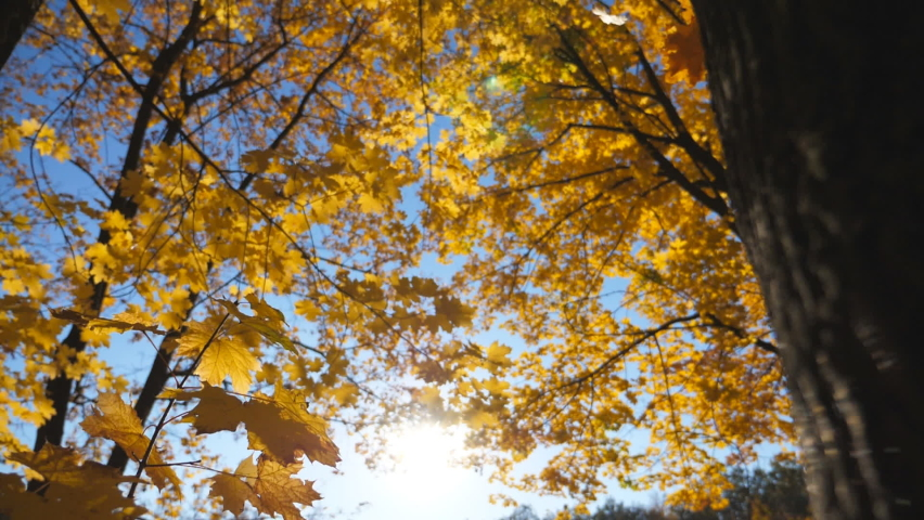 Golden maple leaves falls on ground in empty forest. Yellow autumn foliage covered lawn in park at sunset. Bright sunlight illuminates nature. Beautiful colorful fall season. Close up Slow motion | Shutterstock HD Video #1060992130