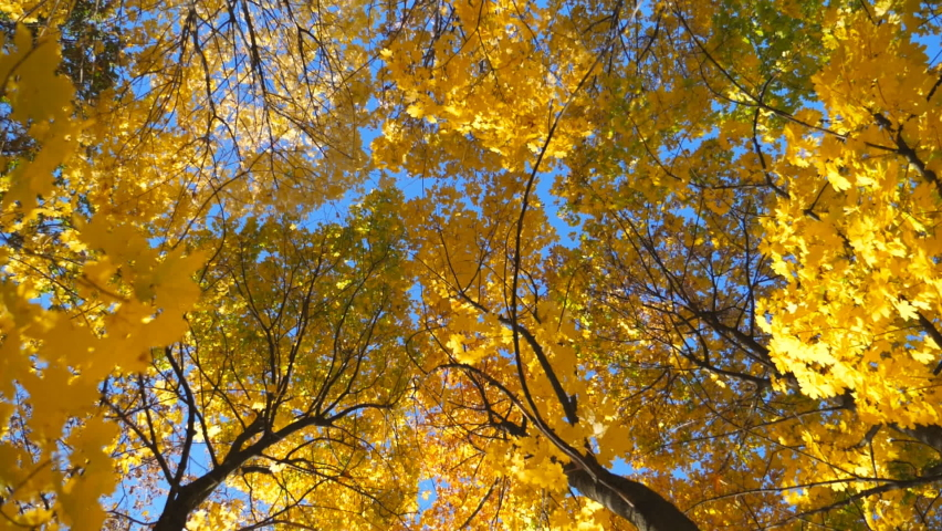 View to tree tops with yellow maple leaves in autumn forest at sunny day. Crowns of plants with lush foliage with bright blue sky at background. Beautiful colorful fall season. Low view Slow motion | Shutterstock HD Video #1060992133