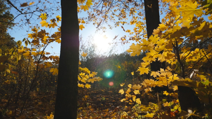 Close up of yellow autumn foliage falls on ground in empty forest. Golden maple leaves coveres lawn in park at sunset. Bright sunlight illuminates nature. Beautiful colorful fall season. Slow motion | Shutterstock HD Video #1060992163