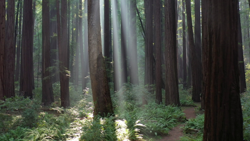 Sunlight pierces a beautiful old-growth Redwood forest in Humboldt, California. Redwood trees, Sequoia sempervirens, are among the tallest and most massive tree species on the planet.