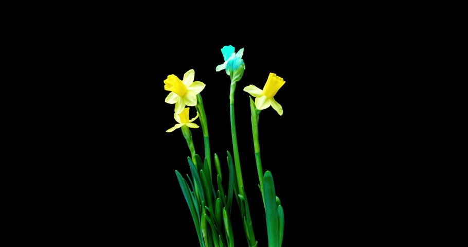 Time lapse shooting of the growth and flowering of a bouquet of blue and yellow daffodils on a black background, 4k video. Beautiful unusual flowers. | Shutterstock HD Video #1061000329