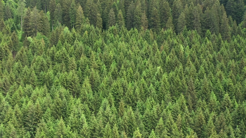 Plantation of spruce trees. Fir peaks shot from above. Alpine spruce forest on a hill. Green spruce on the slope aerial view | Shutterstock HD Video #1061009497