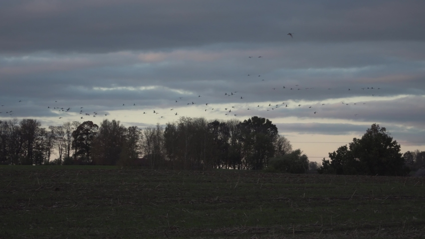 Migratory bird flight in autumn. Northern swans travel to warm lands. A fall season wild flying birds in the wild. Beautiful evening scene with birds colony that's migrate above a field in nature.