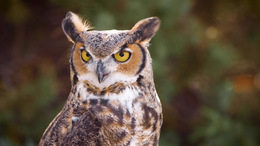 Beautiful Great Horned Owl in in the forest | Shutterstock HD Video #1061067298