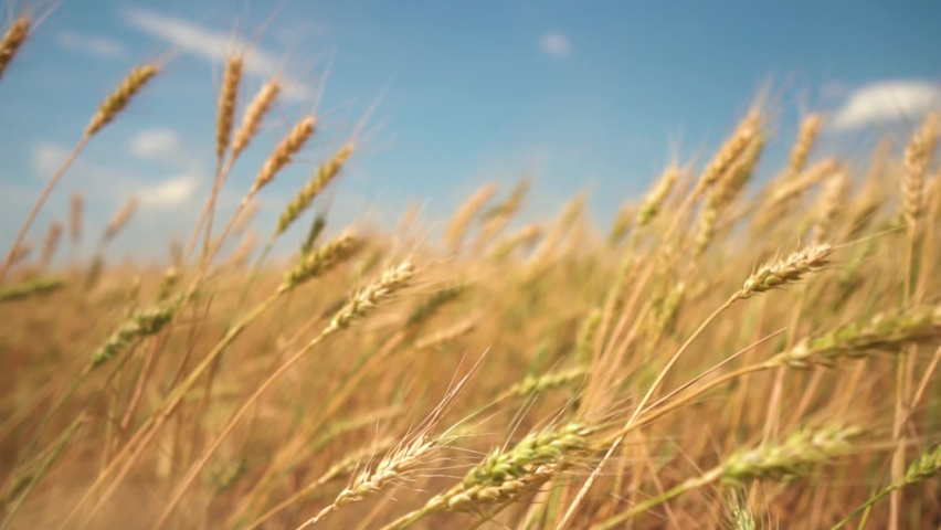 Wheat field, ears of wheat swaying from the gentle wind. Golden ears are slowly swaying in the wind close-up. View of ripening wheat field at summer day. Agriculture industry. Royalty-Free Stock Footage #1061120194