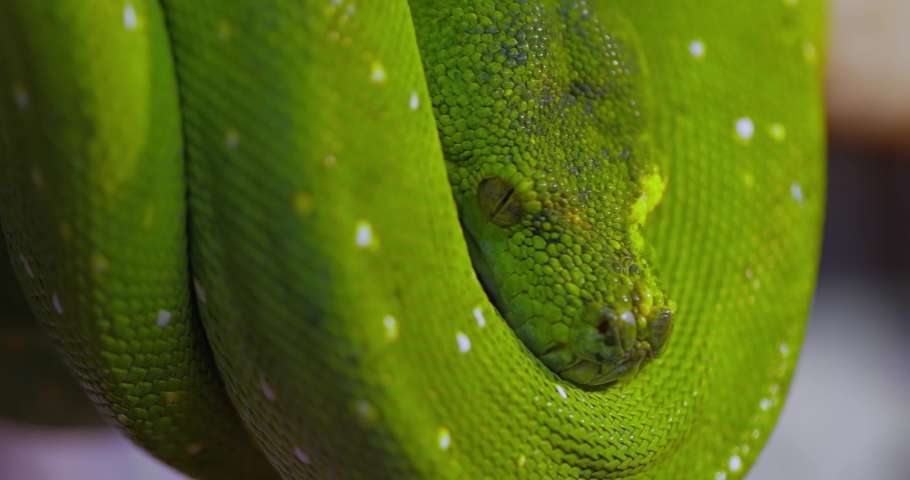 The green tree python (Morelia viridis) is a species of snake in the family Pythonidae. The species is native to New Guinea, some islands in Indonesia, and the Cape York Peninsula in Australia. | Shutterstock HD Video #1061128312