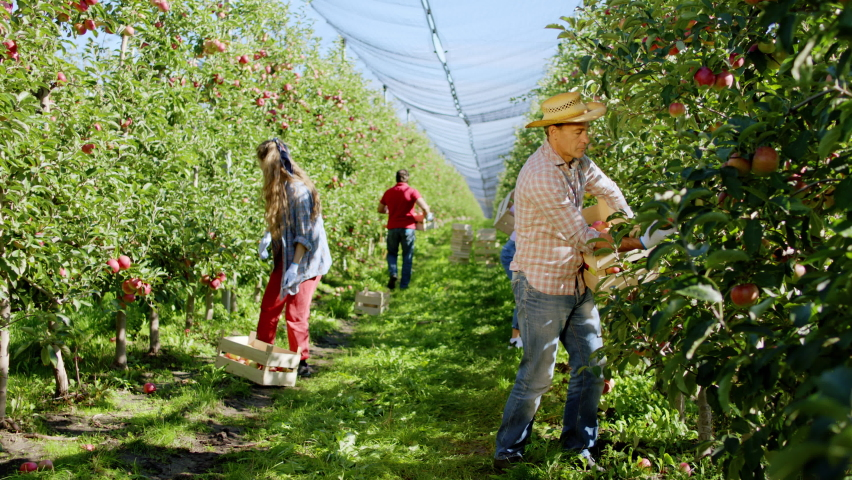 In a sunny day working hard farmer family on their apple orchard they picking apple from the tree working concentrated and hard