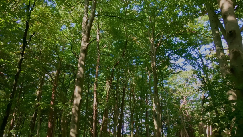 Moving through an old dense forest with tall trees and green foliage. 4K aerial video. | Shutterstock HD Video #1061155102
