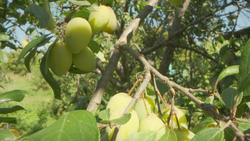 Fruit tree with green leaves and yellow plum fruit. Close - range shot. | Shutterstock HD Video #1061181517