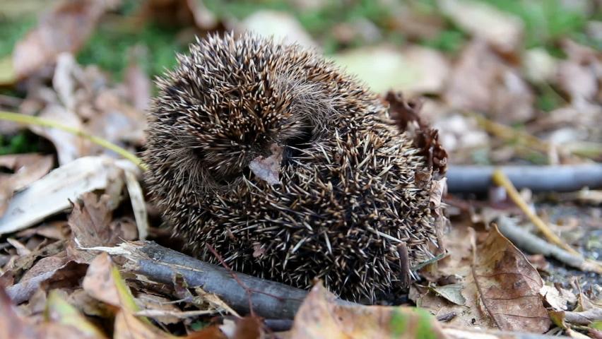 Cute sleeping hedgehog erinaceus europaeus rolling up in autumn czech landscape