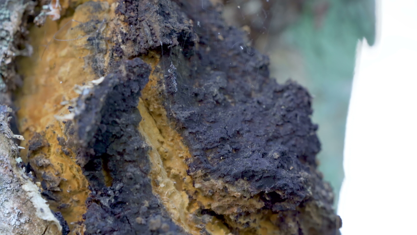 The black chaga mushroom on the big tree trunk in the forest as seen on a closer look | Shutterstock HD Video #1061221093
