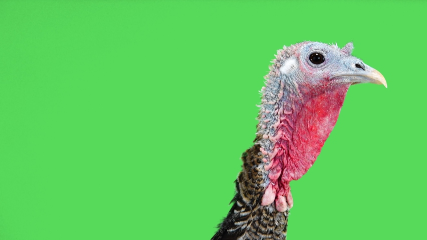 Female turkey head appears on the green screen and then disappears from the screen.