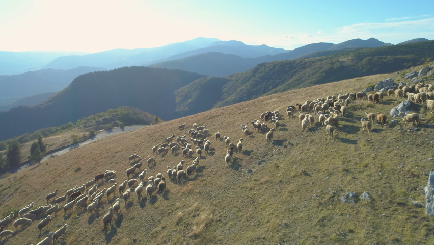 Free Range Flock of Sheep on a Mountain Pasture in Bulgaria. Aerial Drone view Royalty-Free Stock Footage #1061260879