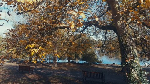Stunning golden autumn trees in the October sunshine at Cardiff's ever popular Roath Park. There is a gentle breeze blowing the leaves. A perfect 4k autumnal movie background for October / November