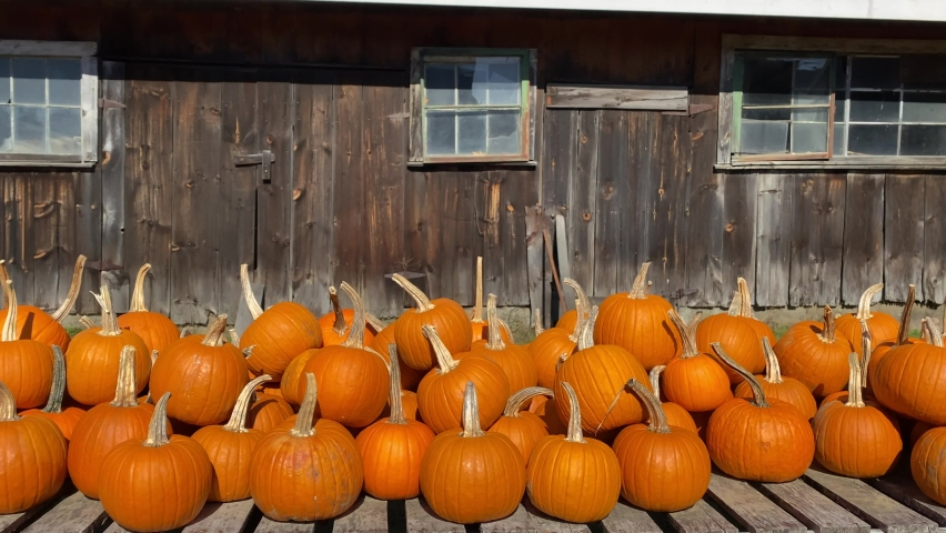 Pending shot of a pumpkin farm with lots of orange pumpkins equal in size with a old barn with broken old crooked Windows, pumpkin patch on a pumpkin farm perfect pumpkins. | Shutterstock HD Video #1061288863