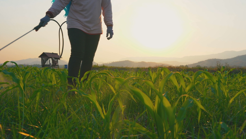 Farmer spraying pesticides and protect from Fall Armyworm (Spodoptera frugiperda) on young corn field in the evening in Thailand farmland.  Royalty-Free Stock Footage #1061320717
