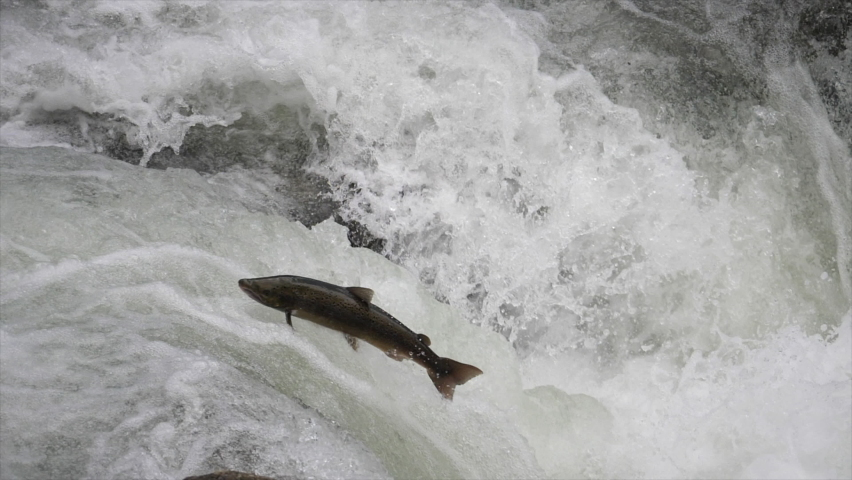 Slow motion of Atlantic salmon going up a whitewater river, looking for the spawning place Royalty-Free Stock Footage #1061348023