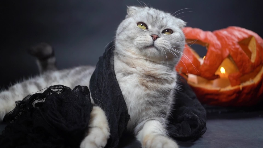 A purebred purebred Scottish Fold cat in black veil sits against the background of Jack O Lantern. Halloween with pets. Celebration with domestic cat. | Shutterstock HD Video #1061373118