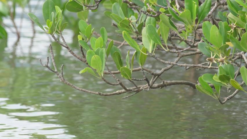 Close up mangrove forest 4k video hong kong   Shutterstock HD Video #1061388193