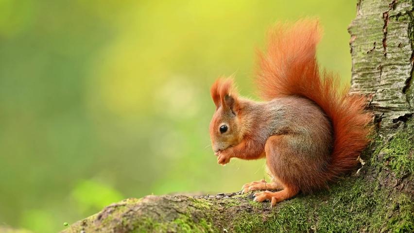 Red squirrel in the natural environment, wildlife, close up, detail, 4k, Sciurus vulgaris